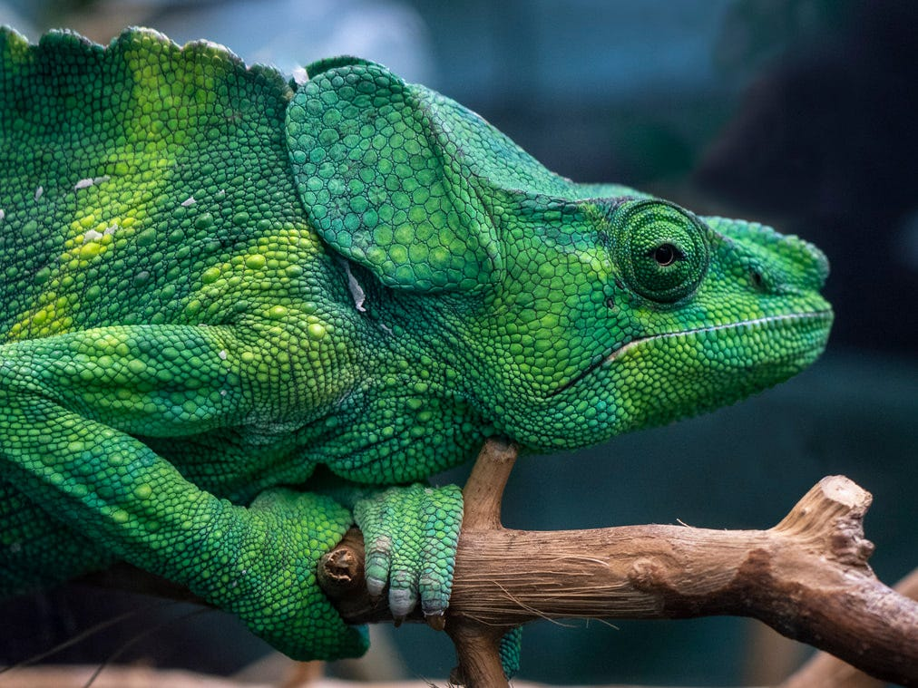 """""""Mellers Chameleon,"""" by Dave Brown, a Doña Ana Photography Club Blue Ribbon Award Winner 2018."""