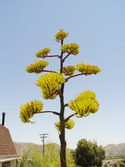 Discover the pollinators of agaves by bloom stalk of Agave parryii.