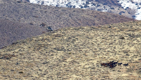 Workers use a helicopter and motorcycle to herd horses in Palomino Valley. Horse advocates say the roundup by the Pyramid Lake Paiute Tribe wrongly trespassed on tribal land and wasn't properly noticed.
