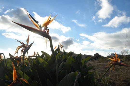 A bird of paradise flower blooms on the property where Sierra and Canyon Shannon, of Ventura, lived before their home was destroyed by the Thomas fire in December 2017. The siblings created a documentary about those who were affected by the fire.