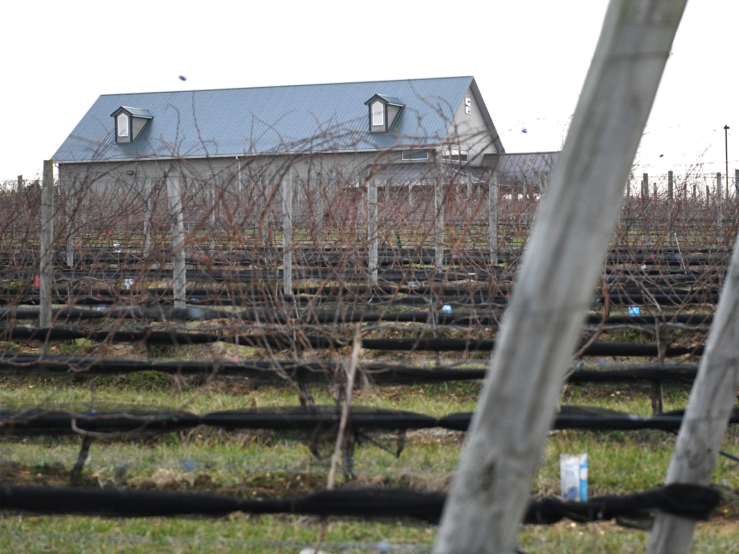 Rows of grape vines can be seen on the property of Cedar Rose Vineyards in Rosenhayn on Tuesday, Jan. 8, 2019.