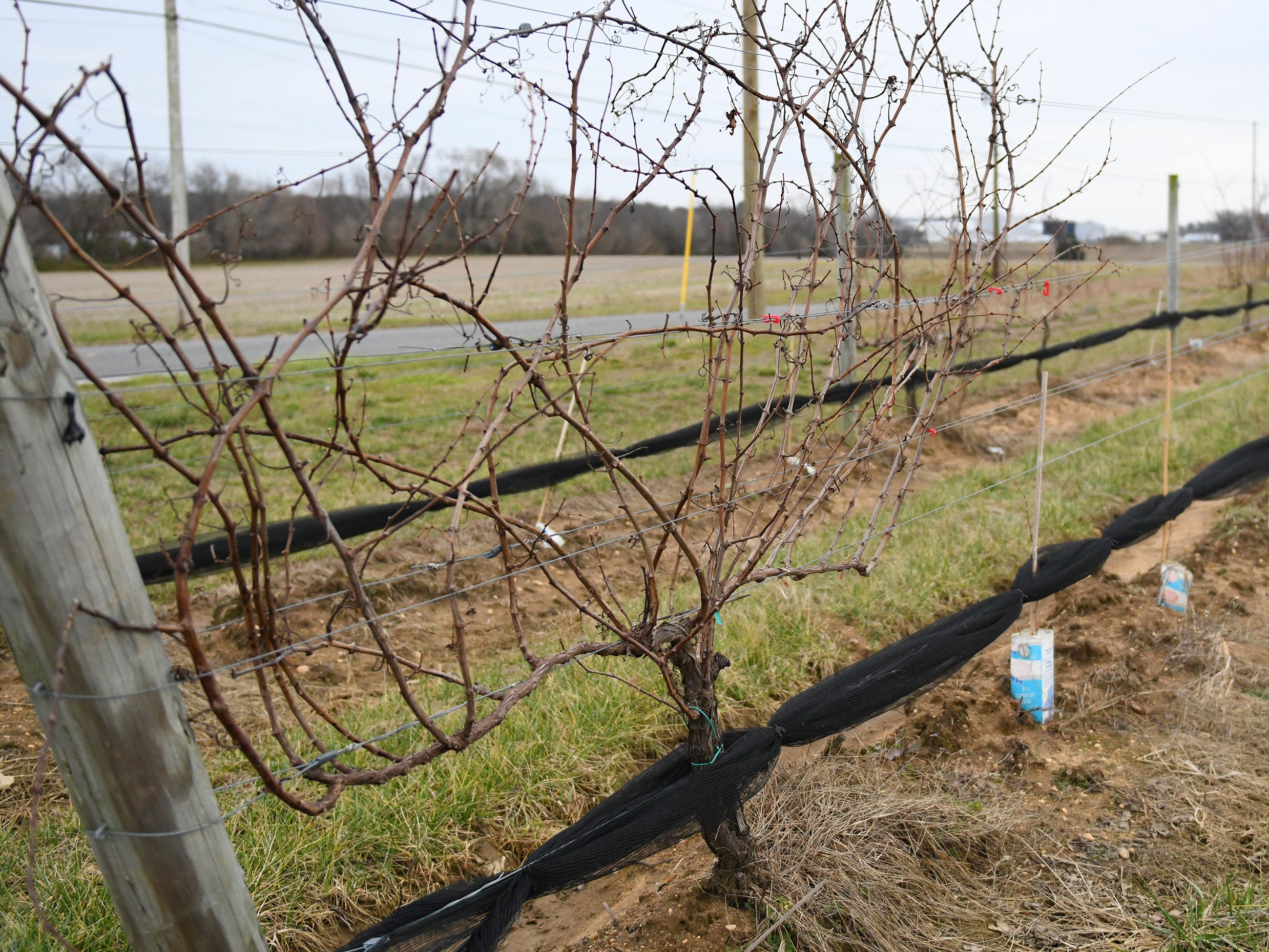 Grape vines are ready to prune at Cedar Rose Vineyards in Rosenhayn, pictured here on Tuesday, Jan. 8, 2019.