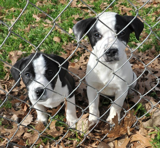 Lottie, left, and Tillie are both mixed breed, 1-month-old, female puppies that are looking for a new home. They are both described as playful and fun to be with. You can find Lottie and Tillie at Humane Society of Wichita County.