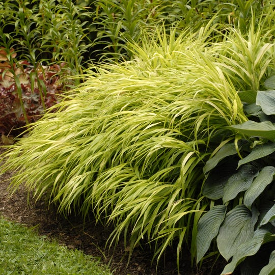 """The rich foliage of Hakon grass adds drama and texture to shady gardens. This is Hakonechloa macra Aureola, and it """"gives the feeling of flowing water,"""" Draper says."""