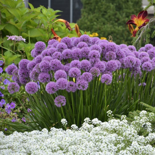 The jaunty 2-inch purple globes of Allium Millenium attract butterflies to the garden through the summer, and the seed heads are decorative long after their color has faded. Blooms stand up to about 18 inches tall. Millenium is the Perennial Plant Association's perennial of the year for 2018.