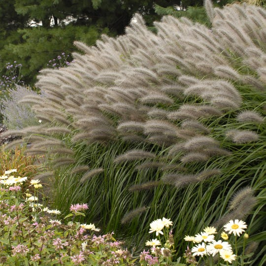 Fountain grass Red Head blooms earlier than other fountain grasses and has larger flowers. Try planting it in a spot where it will be backlit by the sun, and the bottle-brush flowers will glow. This fountain grass was one of the first introductions from Brent Horvath of Intrinsic Perennials.