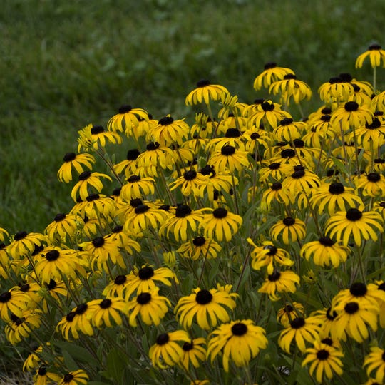 Black-eyed Susan American Gold Rush is naturally adaptable, long-blooming, and disease-resistant. It's an improved form of native black-eyed Susan, and the plants bloom from summer through frost.