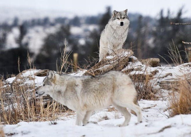 Two buffalo wolves roam their pen at a Wolf Haven International sanctuary outside Bridger. The group took over management of the 35 animals, which are descendants of famed wolves from the early 1900s.