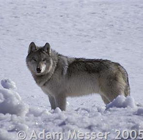 Hunter shoots wolf near northeastern Montana's Glasgow