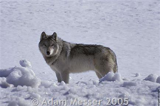 Wolves, not this one shown here, have been seen at night on the streets of Cooke City, located outside of Yellowstone National Park.