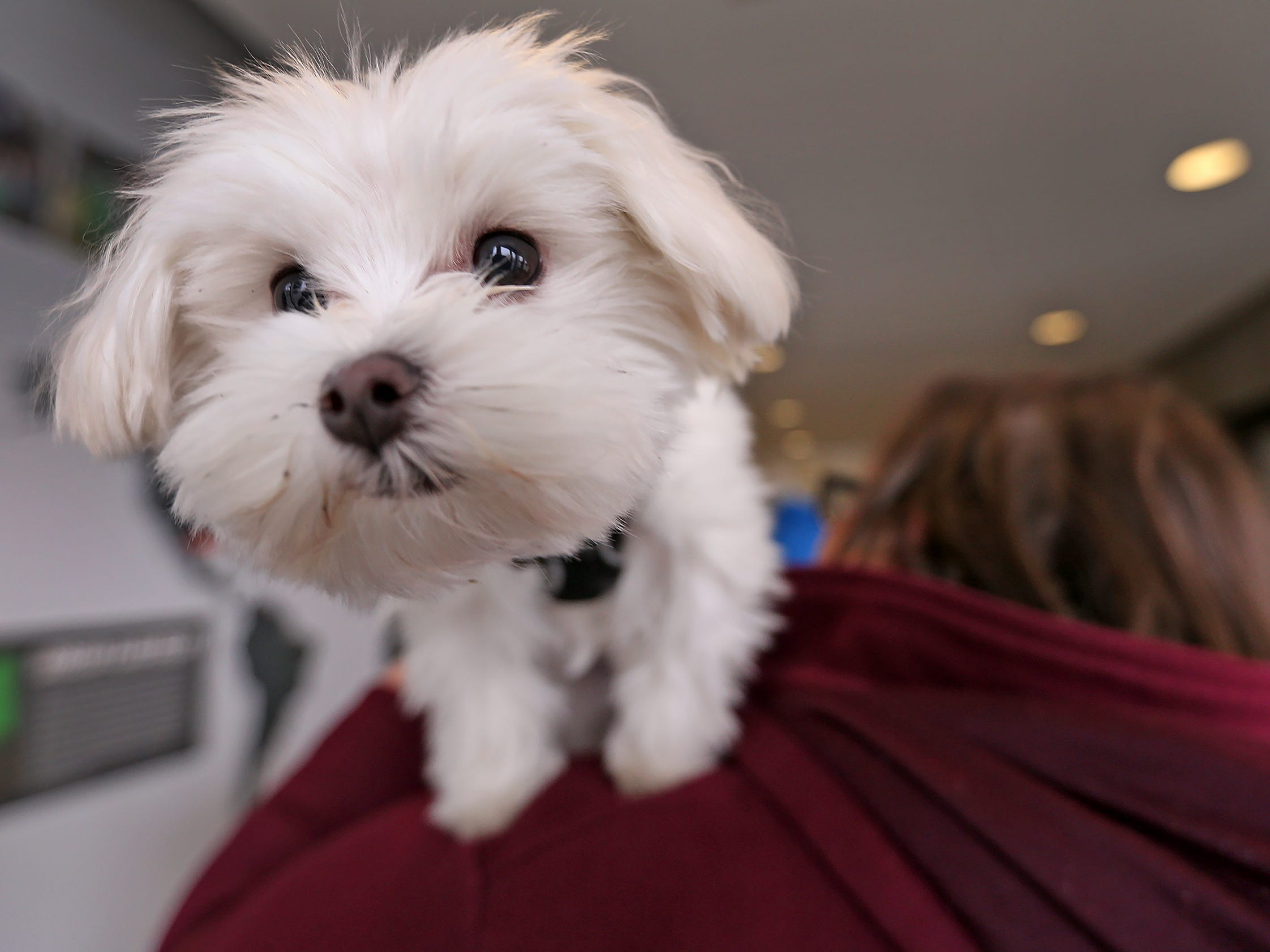 Pistachio, a Maltese-mix puppy, who is the 2019 Puppy Bowl's tiniest player, sits atop his owner Christina Bellardo's shoulder, as he visits the Indianapolis Motor Speedway, Wednesday, Jan. 9, 2019.