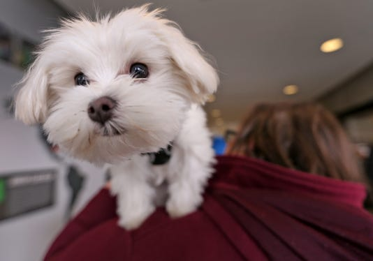 Pistachio A Maltese Mix Puppy Is The 2019 Puppy Bowl S Tiniest Player And He S From Indy