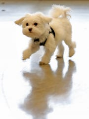 Pistachio, a Maltese-mix puppy, skips around as he plays during his visit to the Indianapolis Motor Speedway, Wednesday, Jan. 9, 2018.