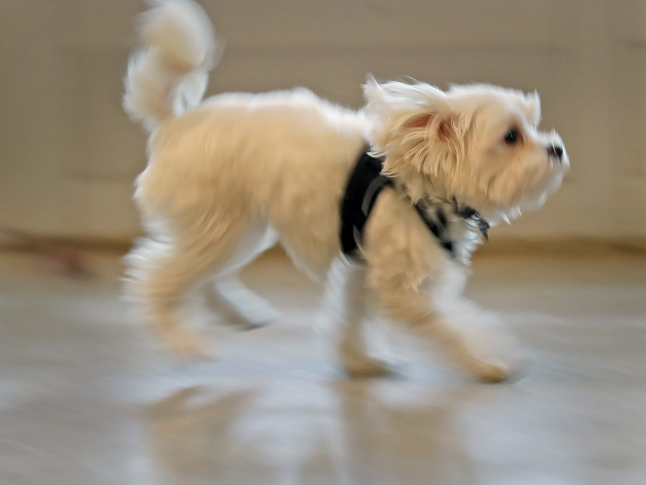 Pistachio, a Maltese-mix puppy, who is the 2019 Puppy Bowl's tiniest player, skips around as he plays during his visit to the Indianapolis Motor Speedway, Wednesday, Jan. 9, 2019.
