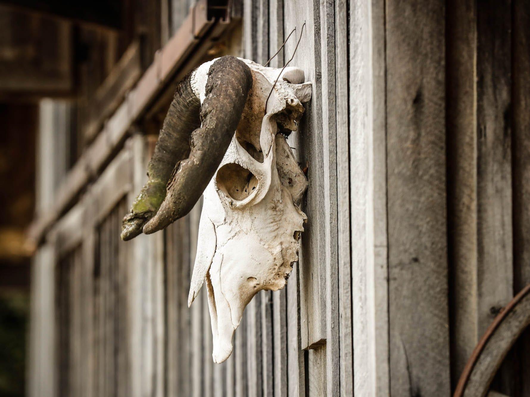 An animal skull hangs from a one-hundred-year-old barn moved from northern Indiana which sits behind a traditional style $2m home up for sale in Bargersville Ind. on Wednesday, Jan. 9, 2019. The house and barn sit on 8.1 acres and features two horse stalls and a man cave with a vintage stove.