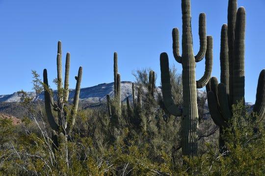 Saguaros on the Metate Trail.