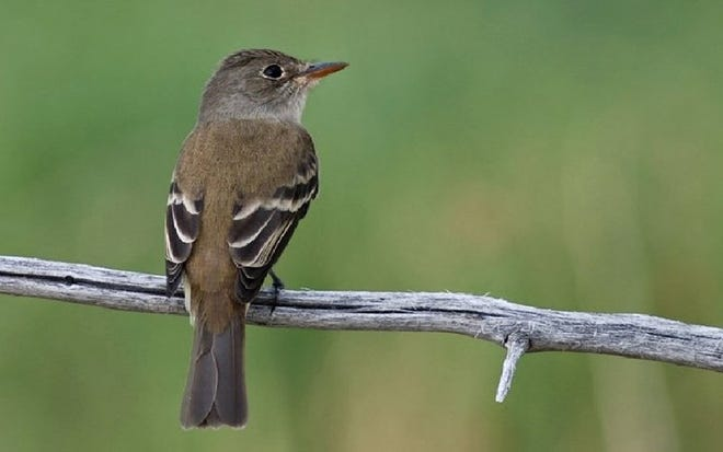 The U.S. Fish and Wildlife Service listed the southwestern willow flycatcher as endangered in 1995. The songbird can be found in Arizona. There are an estimated 600-800 breeding pairs throughout the West.