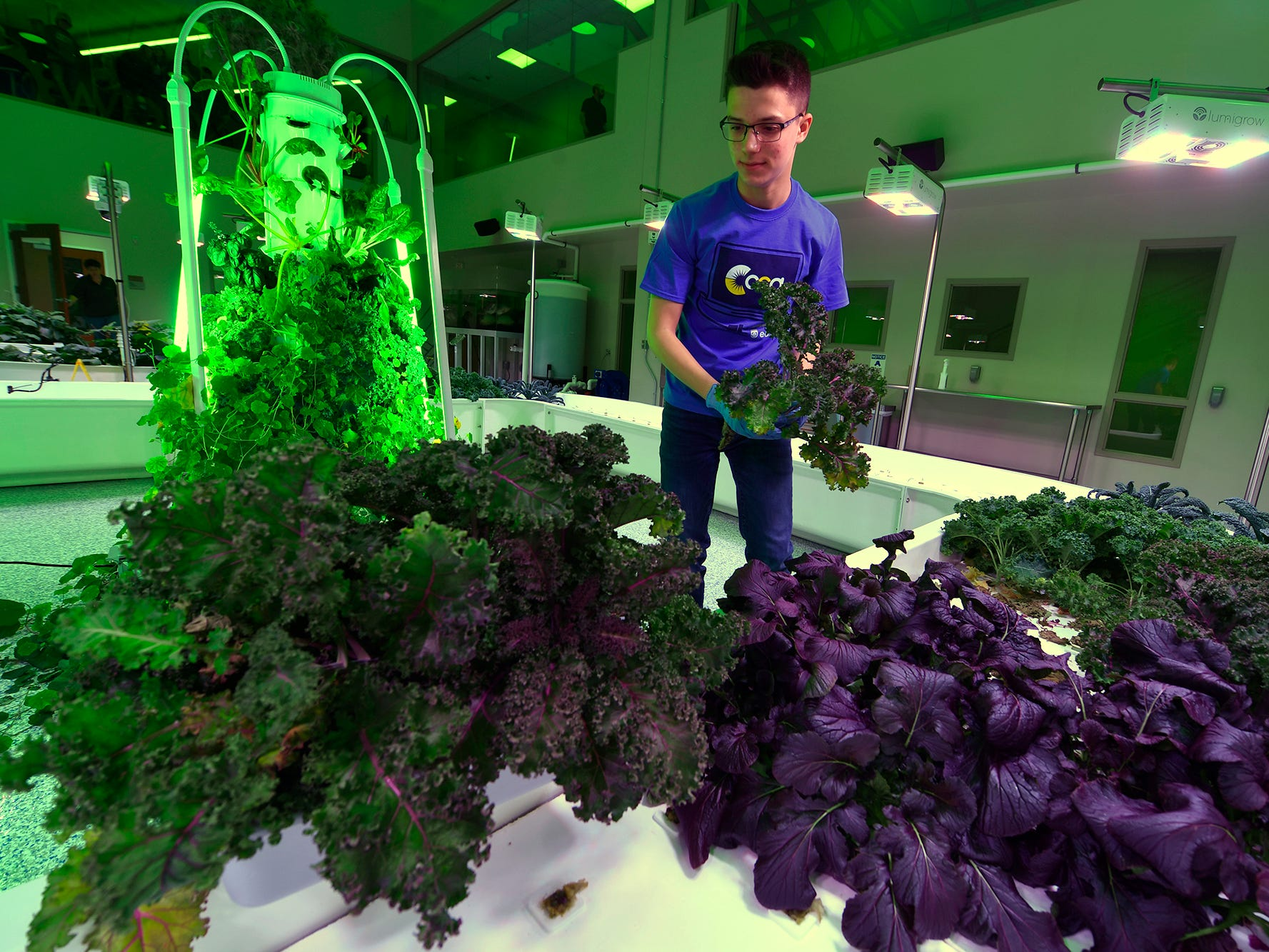 Nathaniel Saxe, a CCA junior from Springettsbury Township, harvests kale at the Agworks aquaponics facility in Harrisburg, Tuesday, January 8, 2019.  