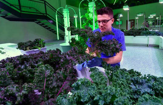 Nathaniel Saxe, a CCA junior from Springettsbury Township, harvests kale at the Agworks aquaponics facility in Harrisburg, Tuesday, January 8, 2019.  John A. Pavoncello photo