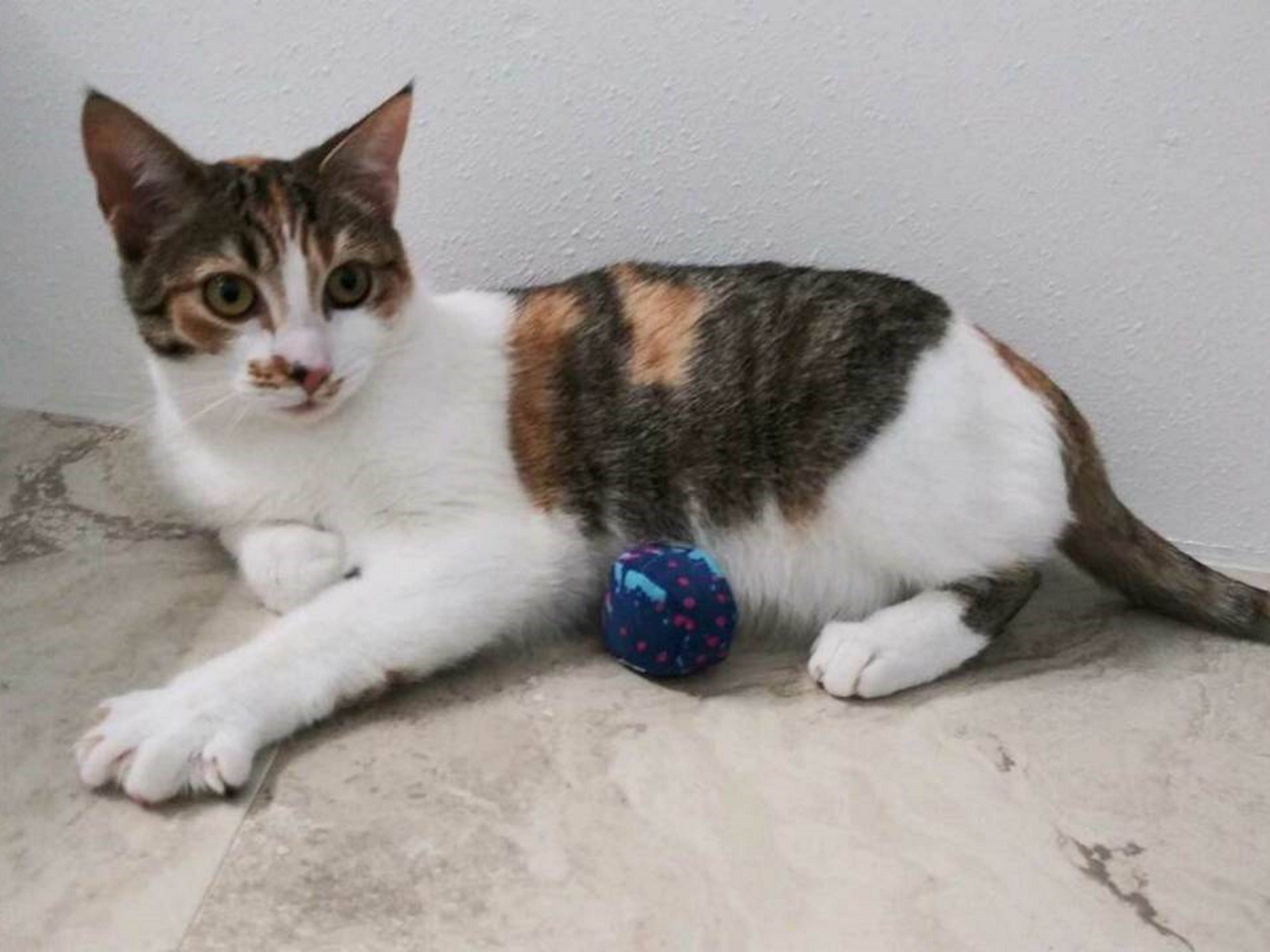 Holly is a 9-month-old, female, easy going and sweet kitten. She'll need time to adjust to her new home, but she likes attention and loves to be petted while gently playing. Raining Cats N Dogs adoptions include spay/neuter services, vaccines and vetting as needed. Call 232-6299. Go to http://rainingcatsndogs.rescuegroups.org.