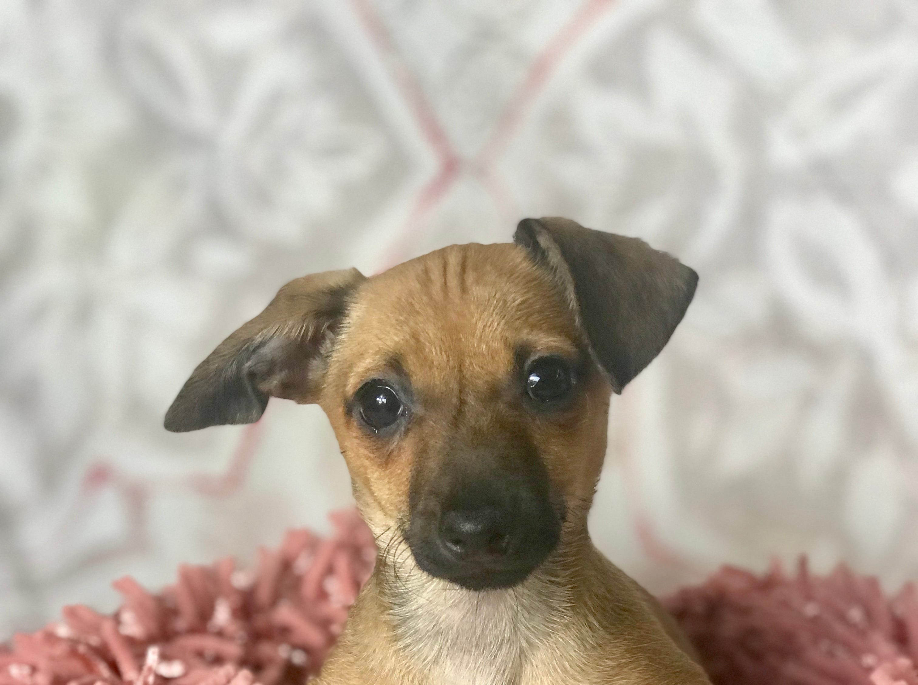 Mignon is a female, 3.5-month-old Dachshund-mix puppy. She's easy going and gets along with dogs and cats. She would be best with at least one other dog to play with. This baby is learning house manners. Visit Tails of Rescue Adoption Center, 981 Lake Blvd., Redding. Call 448-7444. Go to http://tailsofrescue.org.