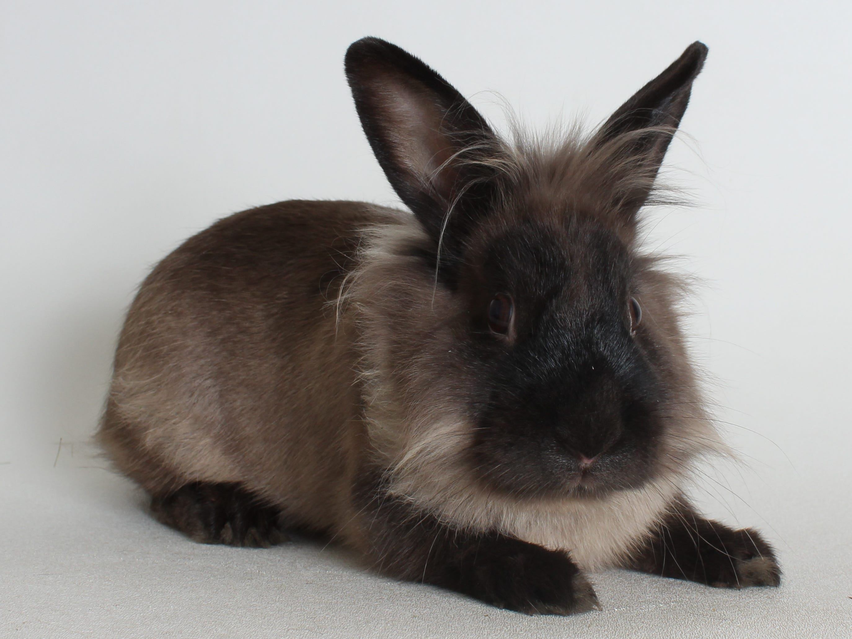 Princess Bubblegum is a one-year-old, spayed, female, lionhead rabbit. She's very sweet. Rabbits need hay, fresh greens, pellets and fresh water to keep them healthy and happy. She also needs space to roam. All feline and canine adoptions include spaying or neutering, vaccinations and a microchip. Visit Haven Humane Society, 7449 Eastside Road, Redding. Call 241-1653. Go to www.havenhumane.net.