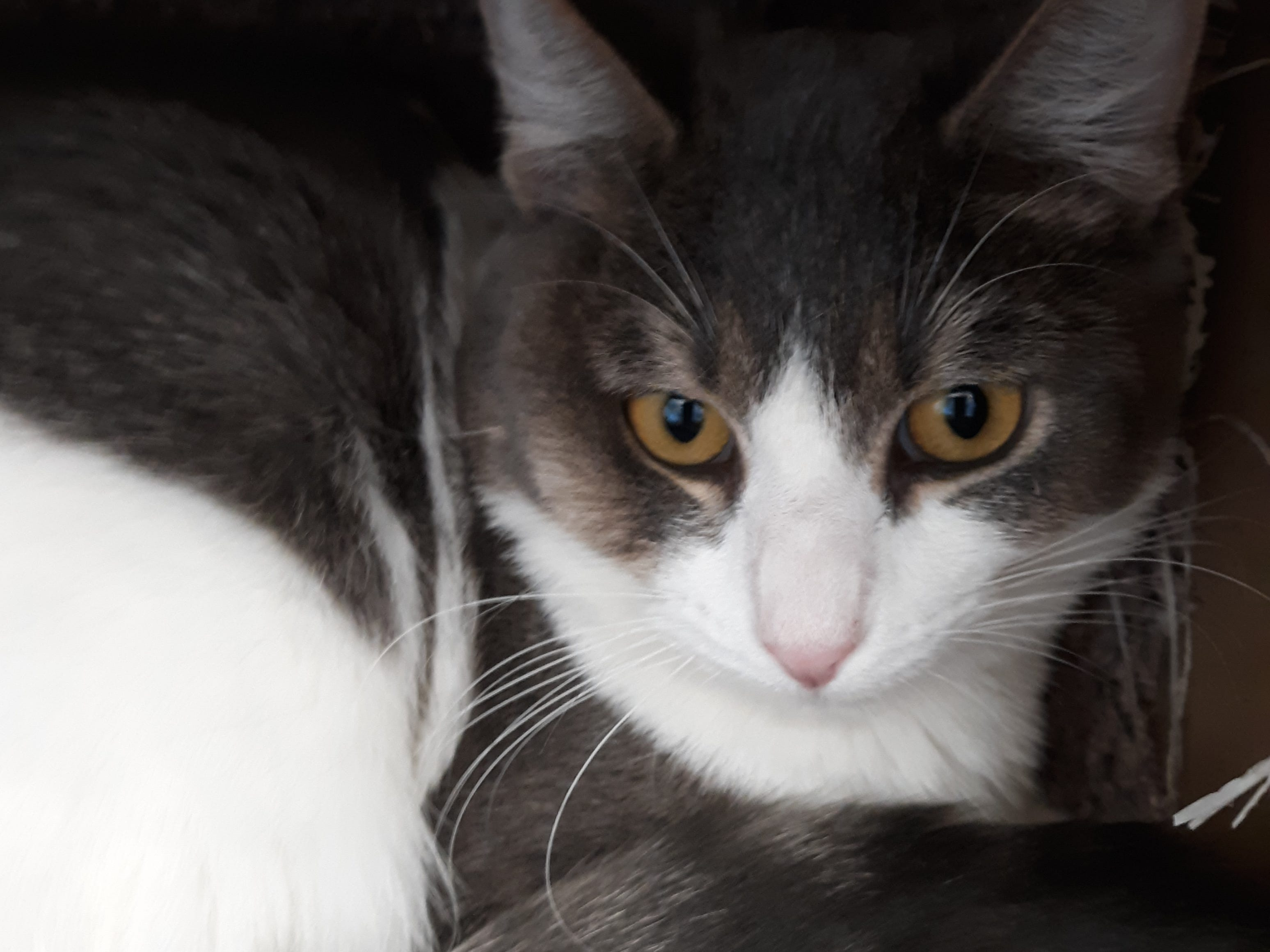 Harmony is a 10-month-old, female, gray and white polydactyl kitten with a very sweet friendly personality. All animal adoptions include spaying or neutering and vaccinations. Apply with Another Chance Animal Welfare League at www.acawl.org. Call 356-0698.