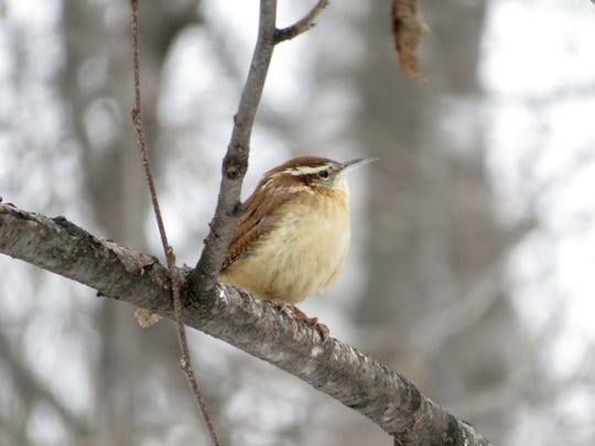 The Carolina wren has been an unusual visitor at our bird feeders this winter.
