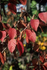 Blue beech (Carpinus caroliniana) leaves turn beautiful shades of red and yellow in the fall.