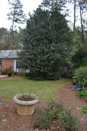 This mature holly tree is much too large for the house and landscape. It is time to take it out. Photo by Mike Fagan.
