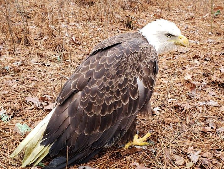 This bald eagle was found sick near a wooded area in Seaford in early January.