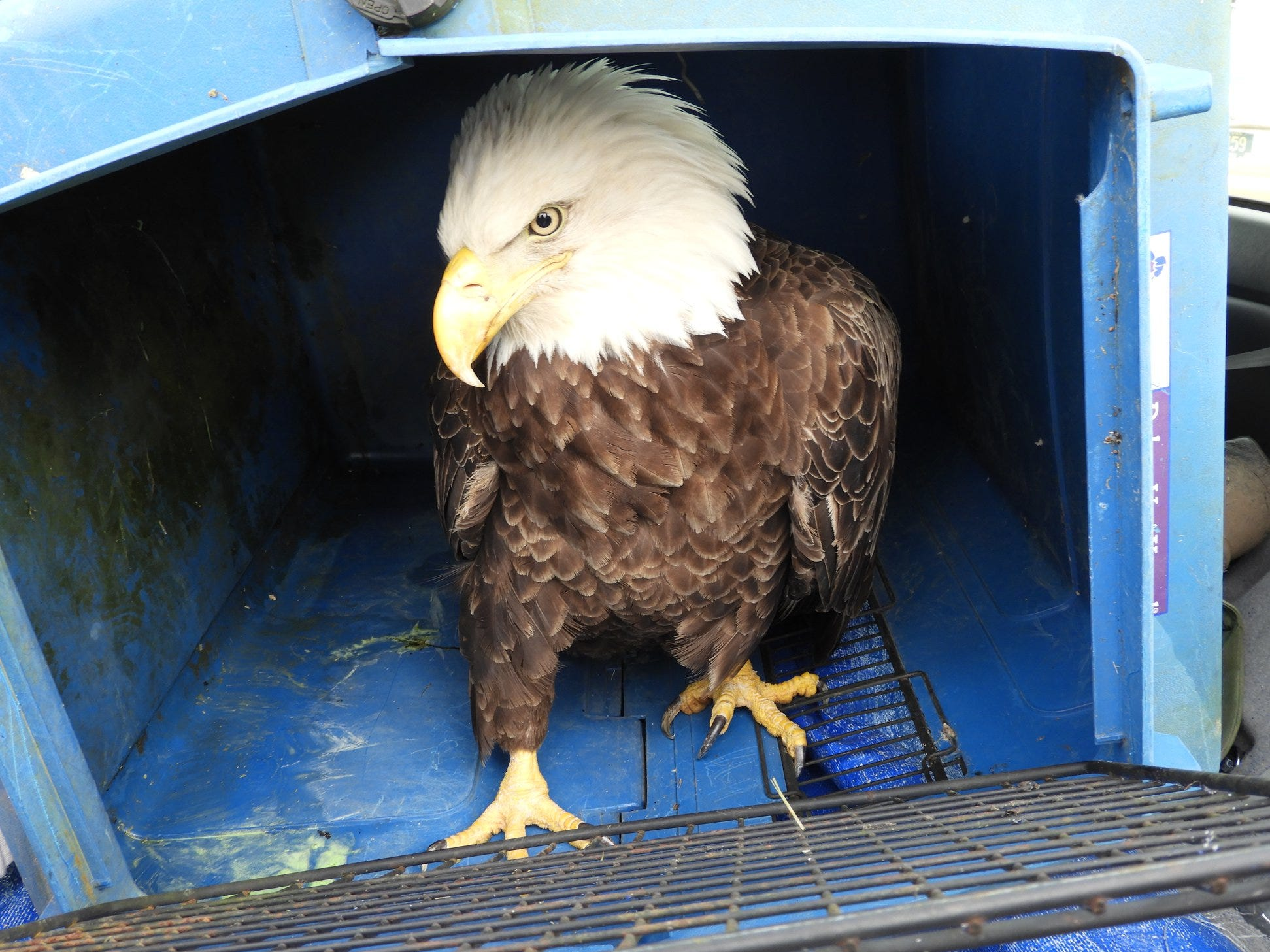 Despite the efforts of passersby to help this struggling bald eagle, it died from high levels of lead in its blood.