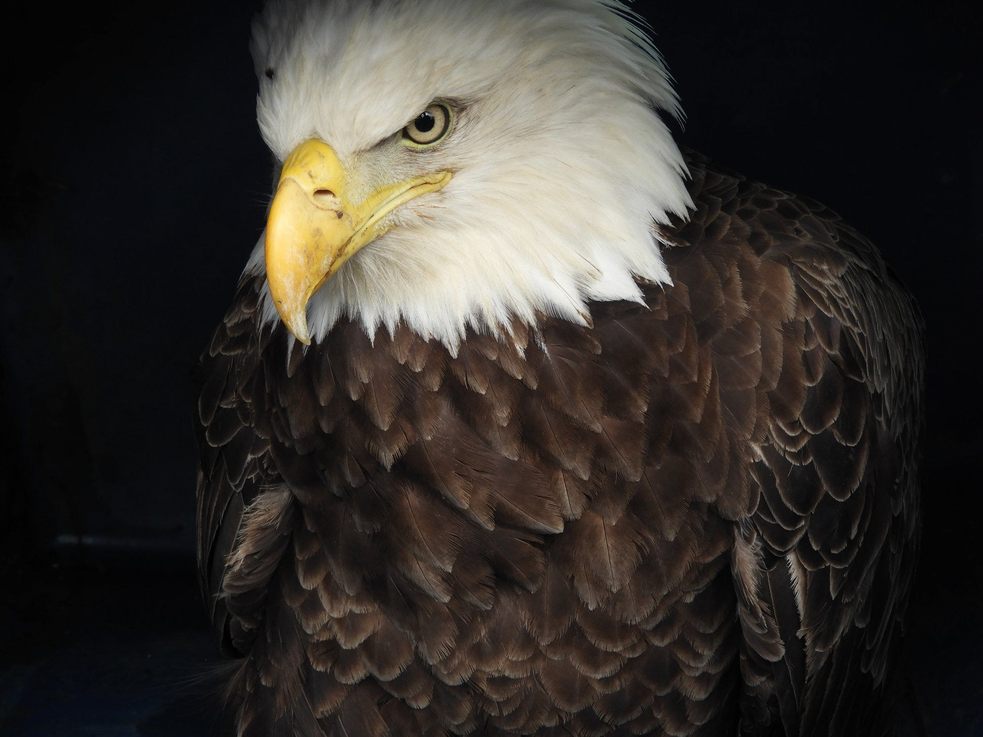This bald eagle was rescued from Sussex County but did not survive.