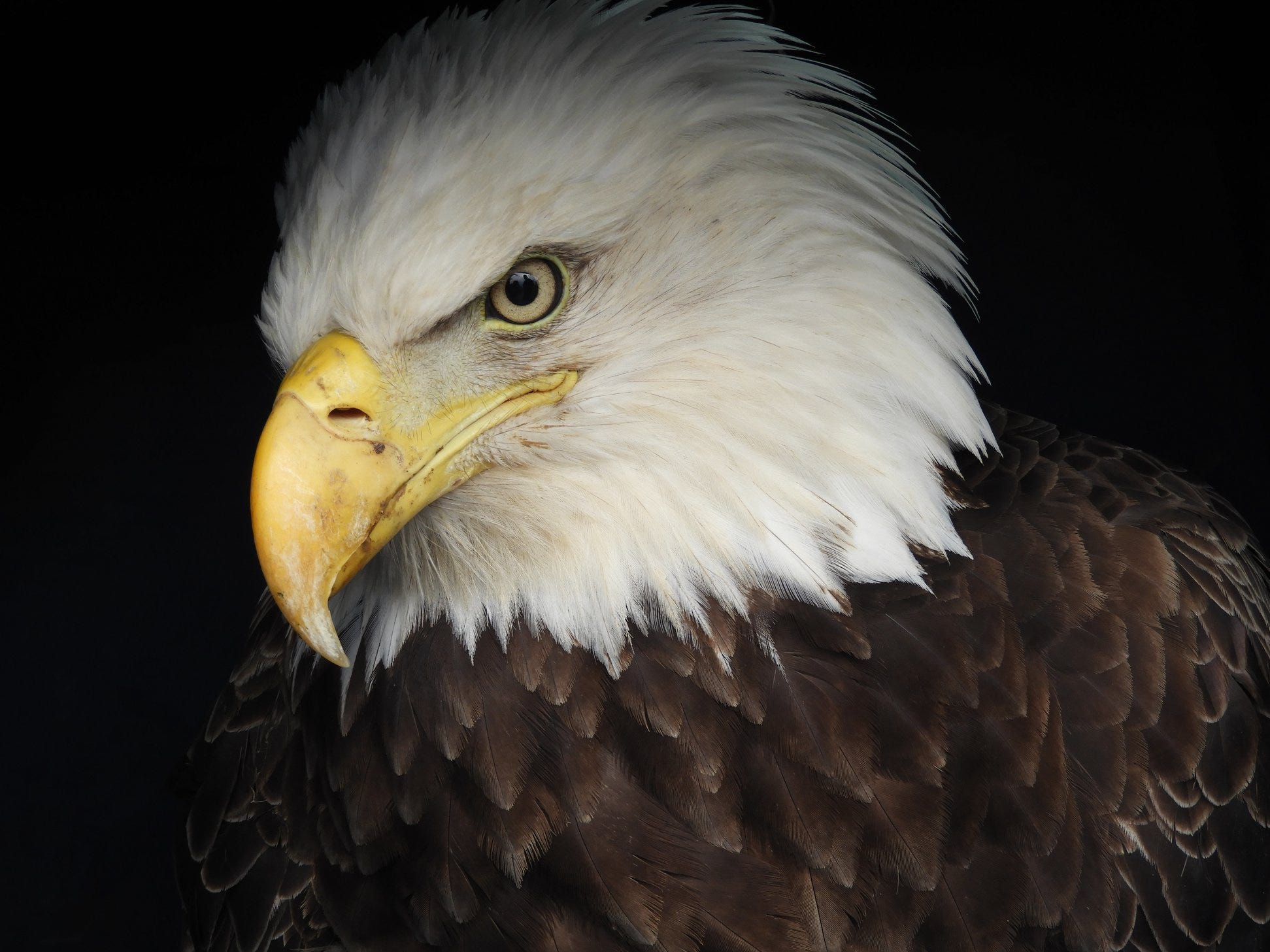 This mature, female bald eagle died from lead poisoning in early 2019.
