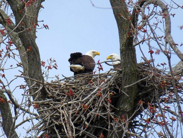 A record number of bald eagle nests were found statewide in 2018.