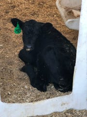 The goal of a dairy-on-beef breeding system is to make a dairy calf look as much like a beef calf as possible.