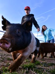 Klayton Ritchie a freshman at Cooper High School walks a dark cross swine named Rehab on Tuesday at  the Abilene ISD agriculture barn. Ritchie and his sister Jaycee (right), will both show swine during the Abilene High/Cooper High Livestock Show Saturday.