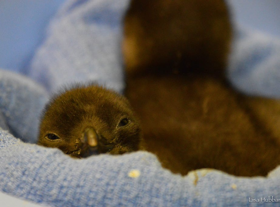 A couple of blue penguin chicks hatched at the Cincinnati Zoo and Botanical Gardens on the last week of December 2018. Two chicks have already been named, Pierogi and Toast. More chicks are expected to hatch soon.