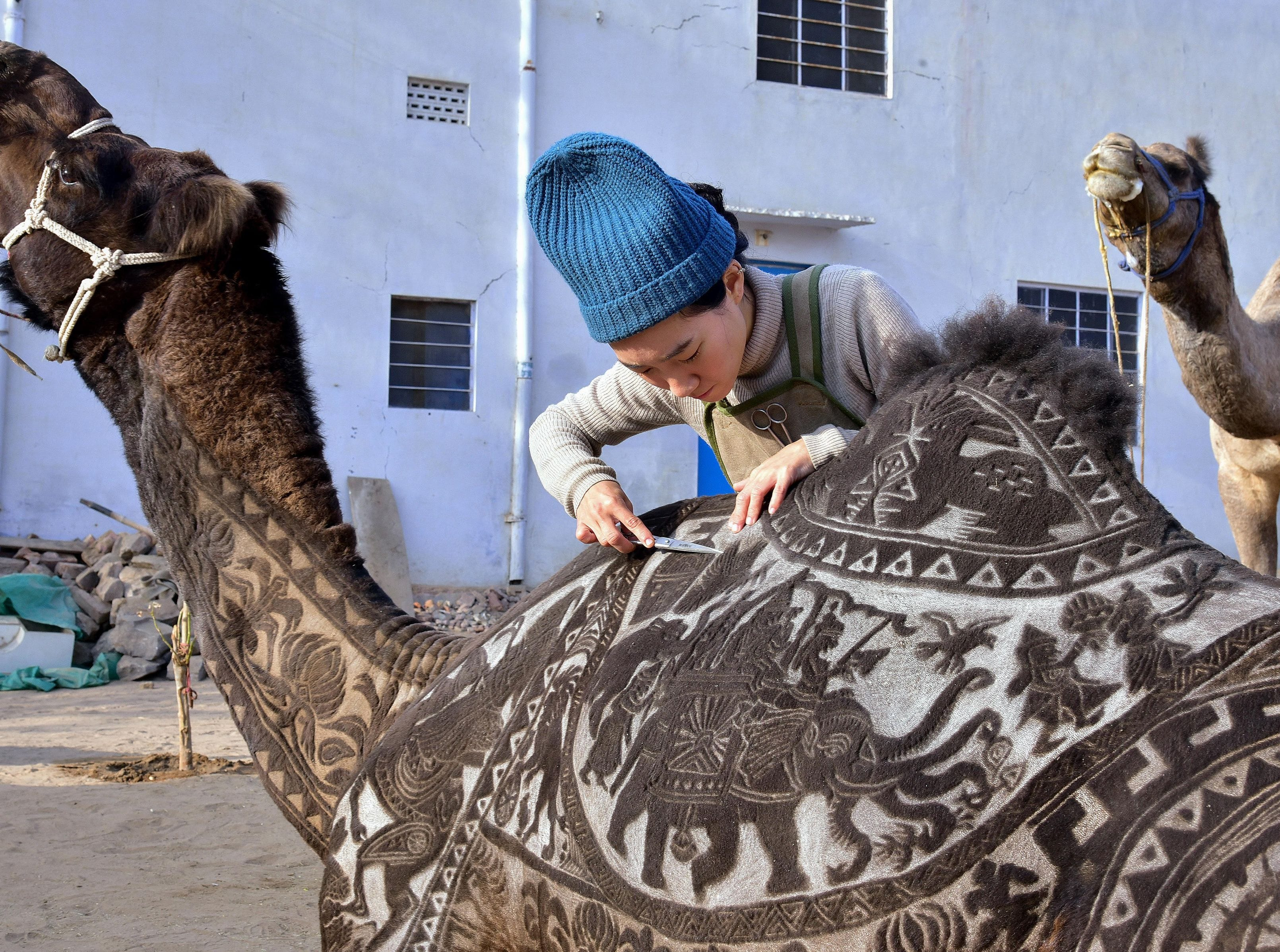Japanese hairdresser Megumi Takeichi cuts patterns into the hair of a camel ahead of the Bikaner Camel Festival in Bikaner in the western Indian state of Rajasthan on January 10, 2019.