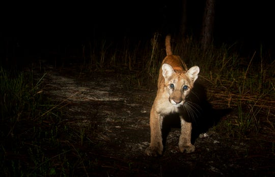 A young Florida panther tripped a camera trap at the Corkscrew Regional Ecosystem Watershed set up by a News-Press photographer. The photo was taken Jan. 6, 2018.