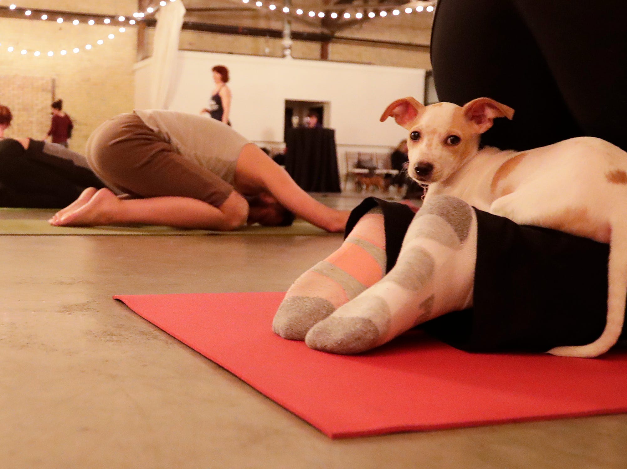 Yoga With Puppies at Gather on Broadway on Wednesday, January 9, 2019 in Green Bay, Wis.