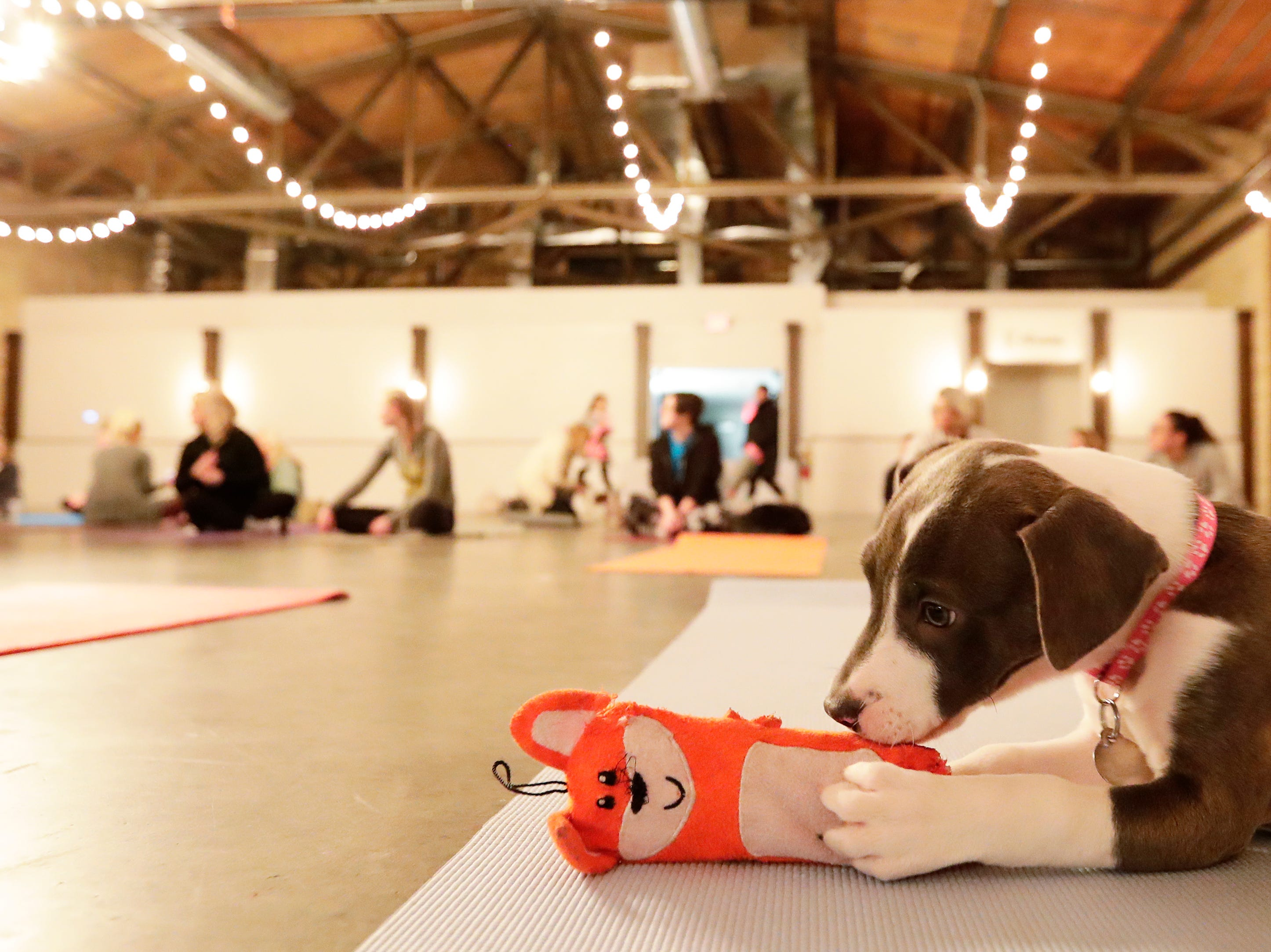 A puppy plays with a toys on a yoga mat before the start of a Yoga With Puppies class at Gather on Broadway on Wednesday, January 9, 2019 in Green Bay, Wis.