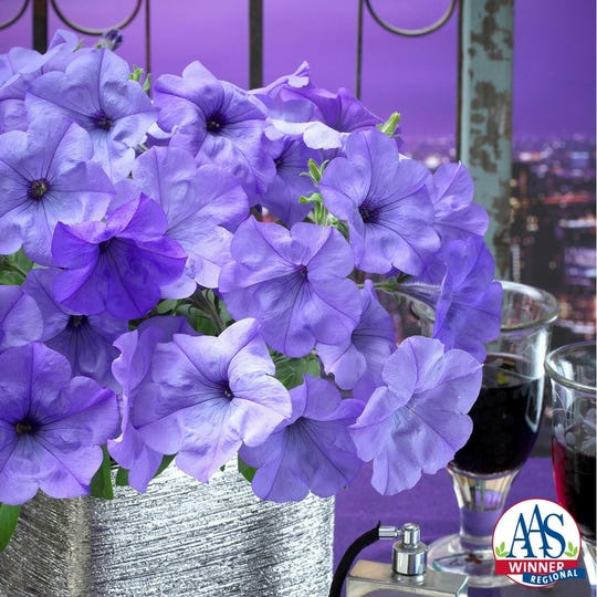"""Evening Scentsation"" is the name of this particular petunia."