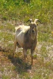 Hardin County's most famous goat has a new home. Houdini — named for his now-you-see-him, now-you-don't lifestyle along Interstate 65 near Sonora — soon will move to the 4,600-acre Broadbent Wildlife Sanctuary in Guston in Breckinridge County.