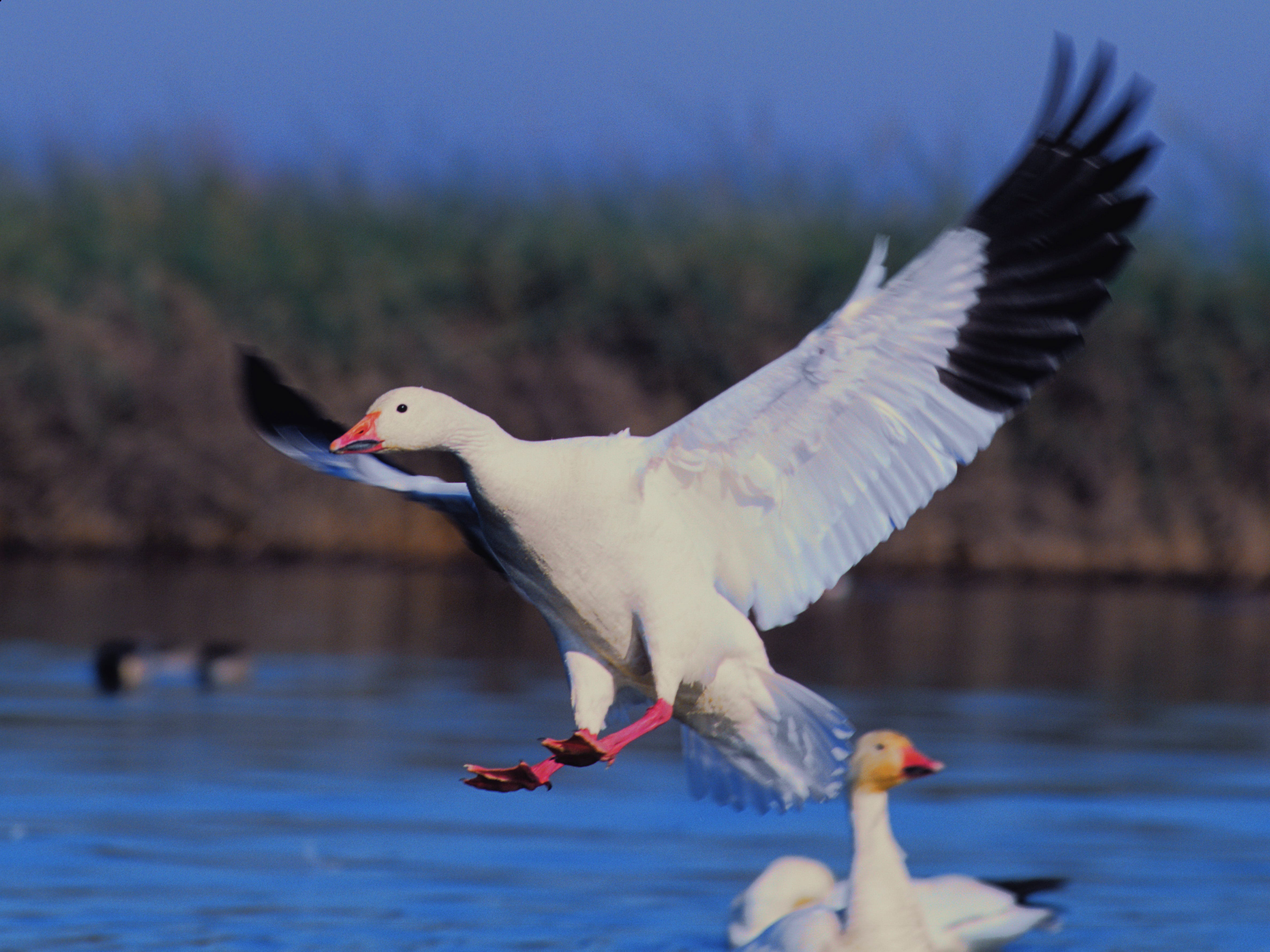 In and around Chico, the 20th annual Snow Goose Festival meets Jan. 24-27. Free events take place on Jan. 26-27. The festival's purpose is to encourage preservation of wetlands and celebrate the contribution snow geese make to the rice farms.