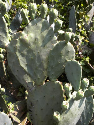 Prickly pear grows throughout the warm parts of the United States.