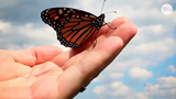 The number of monarchs turning up at western U.S. overwintering sites — including those in Ventura County — has plummeted by 86 percent over a year.