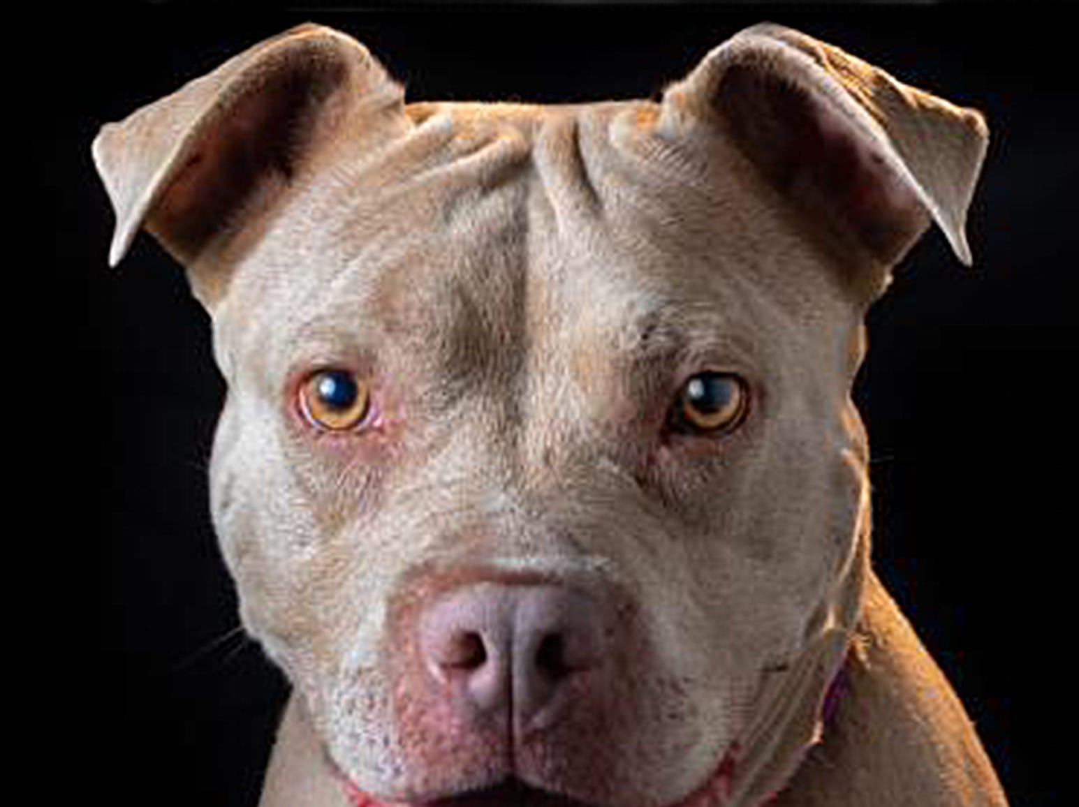 If you're looking for a best friend, Nirvana is your girl. She is an affectionate cuddle bug. Nirvana loves to play fetch, and she walks well on leash. She loves to just hang out with her people. She would be best suited for an active family and being the only dog in the household. Come and meet Nirvana today and let her lick her way into your heart. Nirvana is at the Simi location of Ventura County Animal Services, 670 W. Los Angeles Ave., Simi Valley. Nirvana's ID number is A689950. For more information on other animals available through Ventura County Animal Services, go to www.vcas.us.