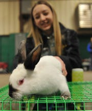 File - Elizabeth Sullivan gets Lazy the rabbit ready for show during the Wichita County Junior Livestock Show, Thursday morning.