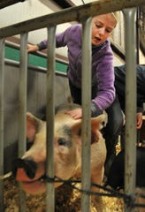 Cameron Bailey grooms Roothy for show during the Wichita County Junior Livestock Show.